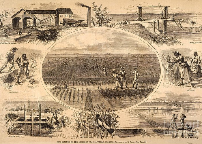 1866 Greeting Card featuring the photograph Rice Plantation, 1866 by Granger
