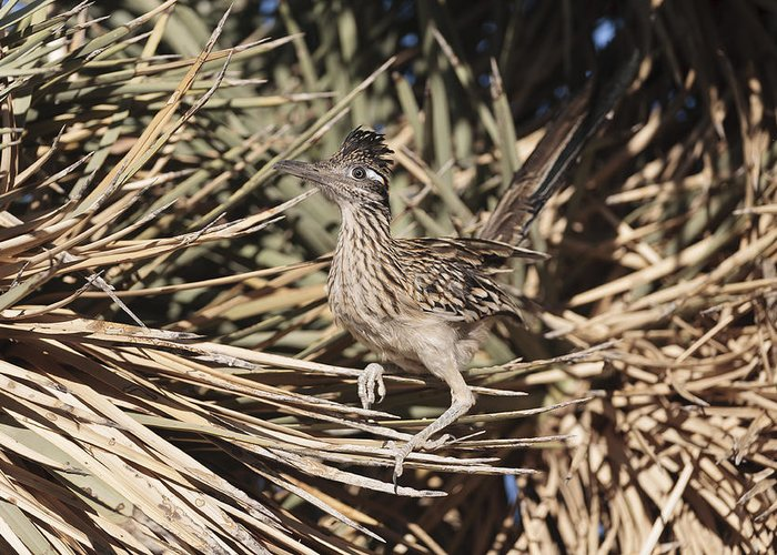 Road Runner Greeting Card featuring the photograph Road Runners Roost by Dennis Hofelich
