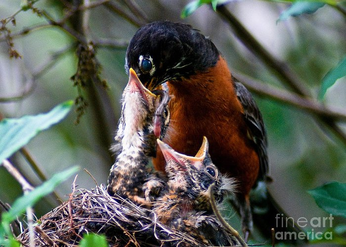 Robin Greeting Card featuring the photograph Robin Feeding Young 1 by Terry Elniski