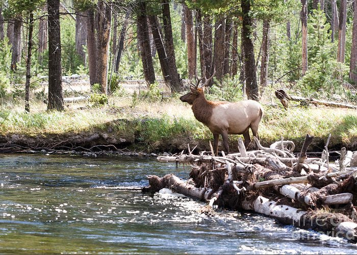 Elk Greeting Card featuring the photograph Rocky Mountain Elk by Cindy Singleton