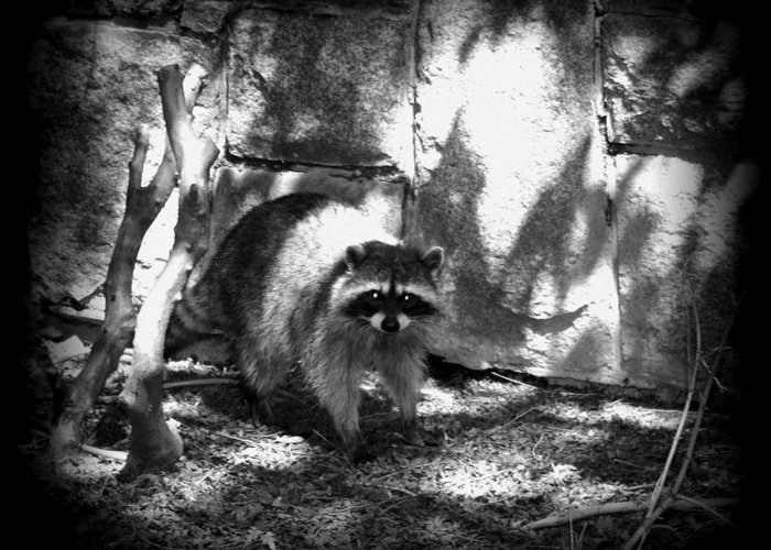 Raccoon Greeting Card featuring the photograph Rocky Raccoon by Marilyn Wilson