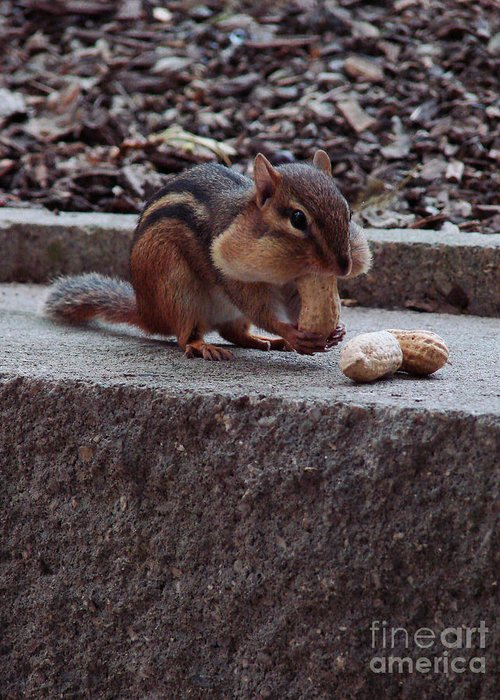 Chipmunk Greeting Card featuring the photograph Room For One More by Mark Holbrook