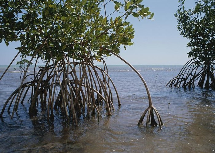Plant Physiology Greeting Card featuring the photograph Root Legs Of Red Mangroves Extend by Medford Taylor
