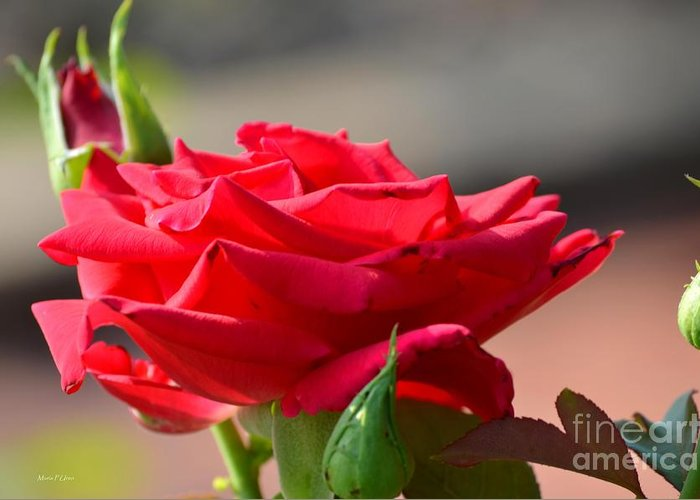 Rose Greeting Card featuring the photograph Rose And Her Buds by Maria Urso