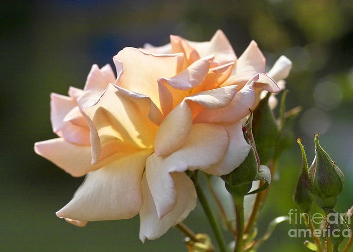 Rose Greeting Card featuring the photograph Rose Flower Series 15 by Heiko Koehrer-Wagner