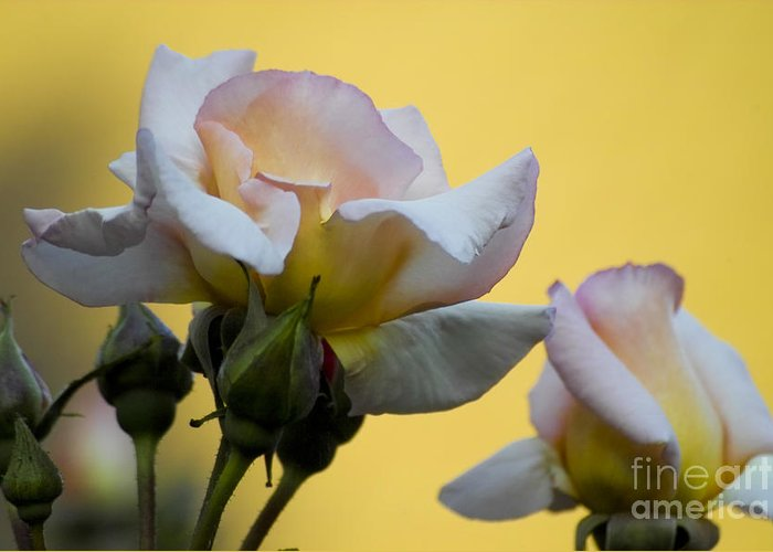 Rose Greeting Card featuring the photograph Rose Flower Series 3 by Heiko Koehrer-Wagner