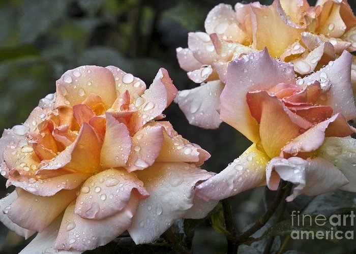 Rose Greeting Card featuring the photograph Rose Flower Series 7 by Heiko Koehrer-Wagner