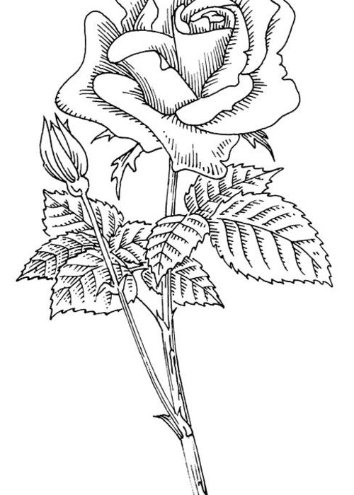Rosa Sp. Greeting Card featuring the photograph Rose, Lino Print by Gary Hincks