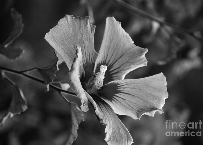 Rose Of Sharon Greeting Card featuring the photograph Rose Of Sharon Grey by Michael Womack