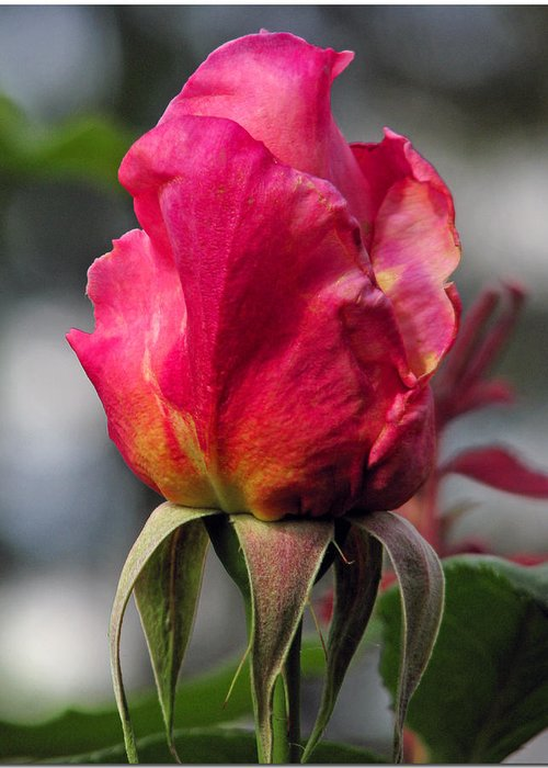 Yellow Greeting Card featuring the photograph Rose Red by Chris Anderson