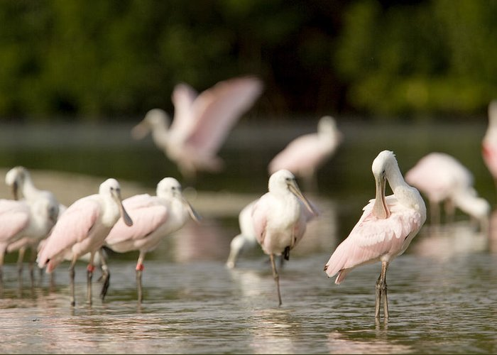 Closeups Greeting Card featuring the photograph Roseate Spoonbills Ajaia Ajaja Feed by Tim Laman