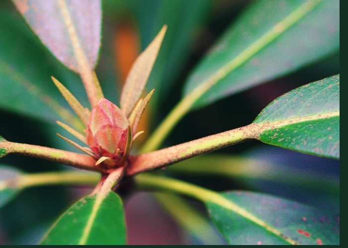 Rosebay Greeting Card featuring the photograph Rosebay Rhododendron Bud by Susie Weaver