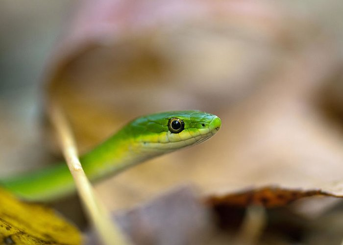 Rough Green Snake Greeting Card featuring the photograph Rough Green Snake by Dan Lease