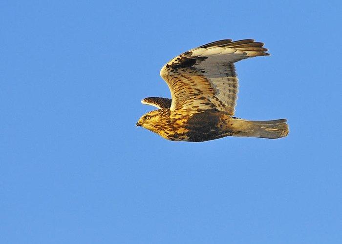 Rough-legged Hawk Greeting Card featuring the photograph Rough-legged Hawk by Tony Beck