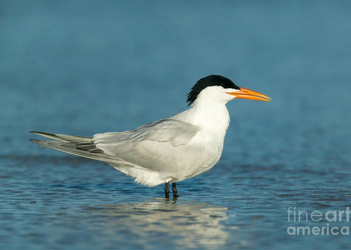 Clarence Holmes Greeting Card featuring the photograph Royal Tern by Clarence Holmes