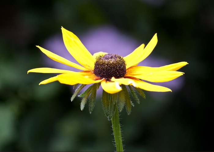 Black Eyed Susan Greeting Card featuring the photograph Rudpurpula by Ross Powell