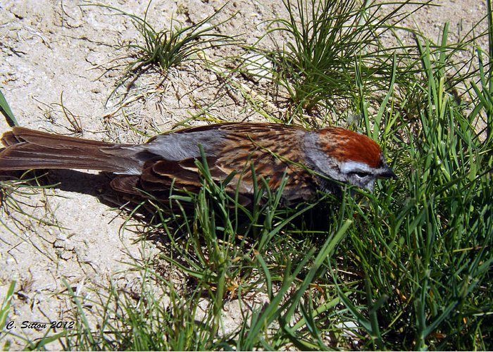 Nature Photographs Greeting Card featuring the photograph Rusty Capped Sparrow by C Sitton