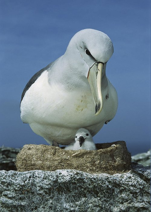 Mp Greeting Card featuring the photograph Salvins Albatross Thalassarche Salvini by Tui De Roy