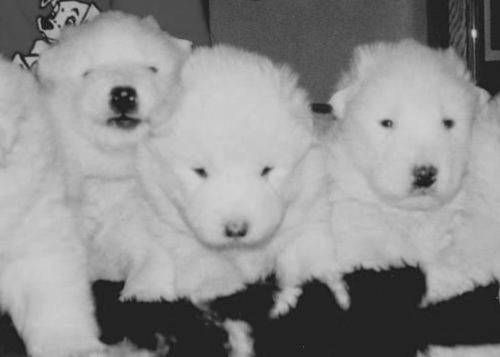 Samoyed Puppies Greeting Card featuring the photograph Samoyed Puppies by Tammy Sutherland