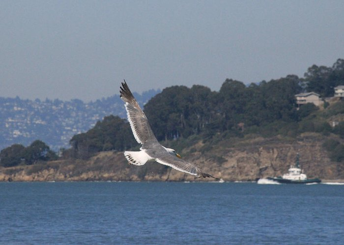 Sea Gull Greeting Card featuring the photograph San Francisco Collection # 28 by Raquel Amaral