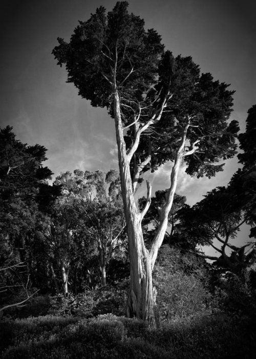 Tree Greeting Card featuring the photograph San Francisco Tree by Matt Trimble