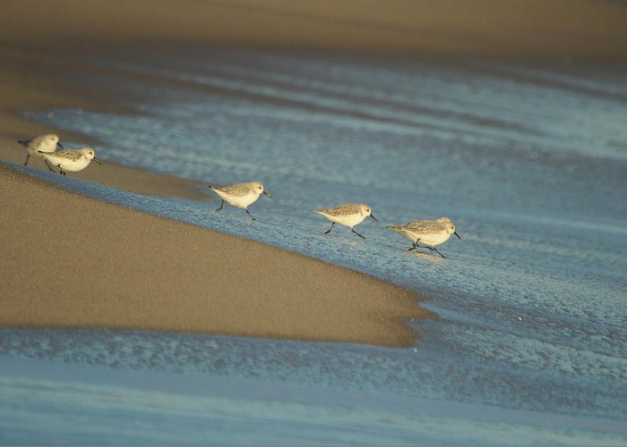Sandpiper Greeting Card featuring the photograph Sanderlings Feeding by Gerald Hiam