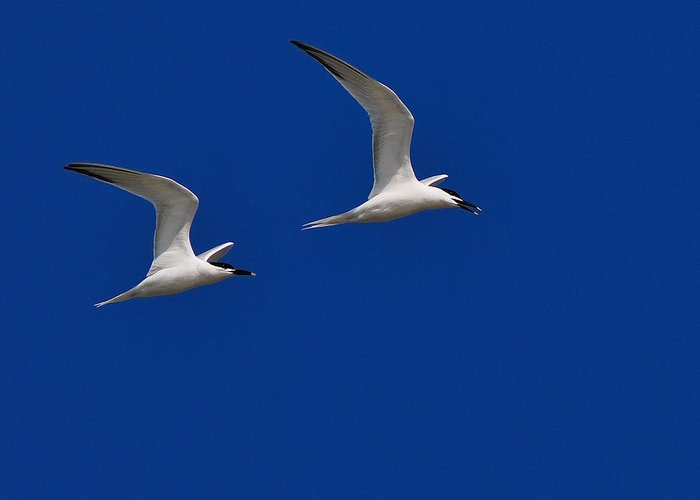 Sandwich Tern Greeting Card featuring the photograph Sandwich Terns by Tony Beck