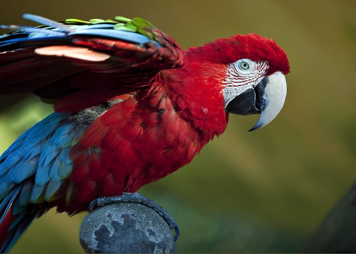 Bird Greeting Card featuring the photograph Scarlet Macaw by Amy Jackson