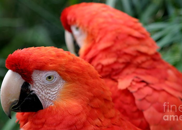 Red Greeting Card featuring the photograph Scarlet Macaws by Henrik Lehnerer