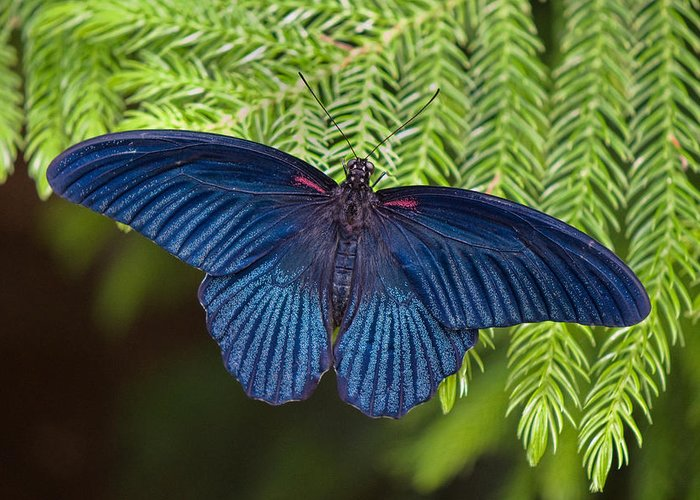 Butterfly Greeting Card featuring the photograph Scarlet Swallowtail by Joann Vitali