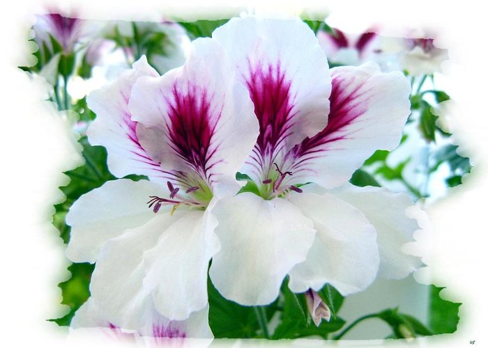 Scented Geraniums Greeting Card featuring the photograph Scented Geraniums 2 by Will Borden