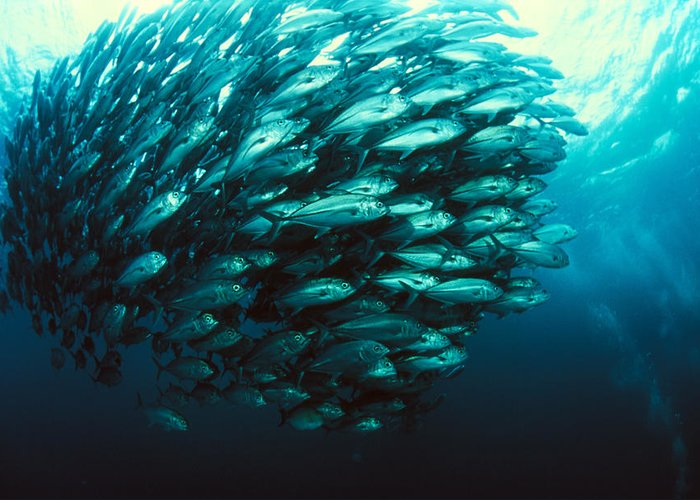 Jackfish Greeting Card featuring the photograph Schooling Jackfish by Matthew Oldfield
