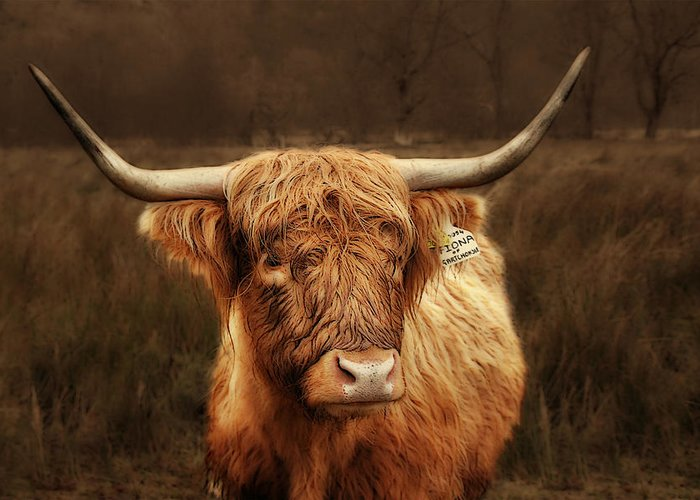 Scotland Greeting Card featuring the photograph Scottish Moo Coo - Scottish Highland Cattle by Christine Till