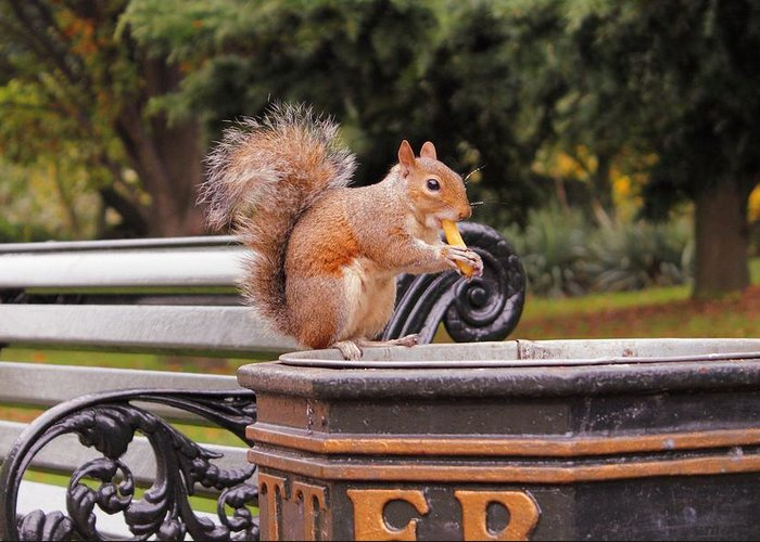 Squirrel Animal Park London Litter Eat Eating Chips Fries French Bank Photograph Greeting Card featuring the photograph Scratchy by Steve K