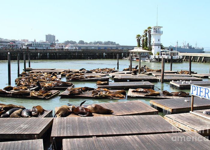 San Francisco Greeting Card featuring the photograph Sea Lions At Pier 39 San Francisco California . 7d14309 by Wingsdomain Art and Photography