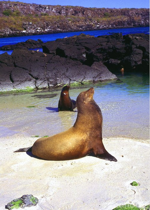 Sea Lions Greeting Card featuring the photograph Sea Lions On Genovesa Island by Thomas R Fletcher