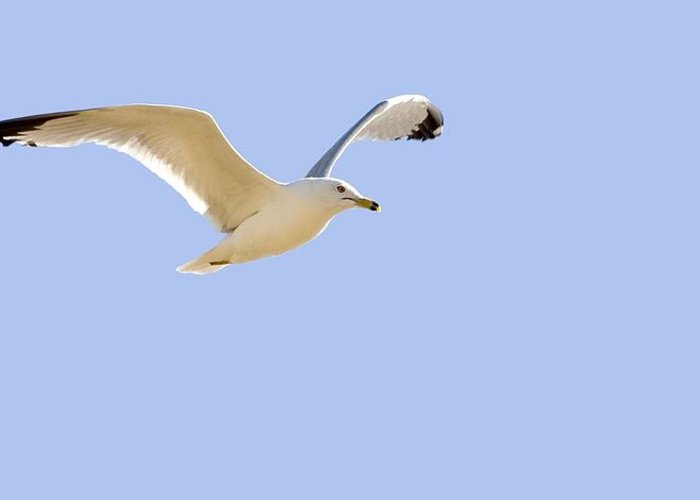 Horizontal Greeting Card featuring the photograph Seagull In Flight by Don Hammond