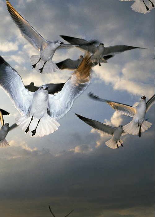 Animal Greeting Card featuring the photograph Seagulls In Flight by Natural Selection Ralph Curtin