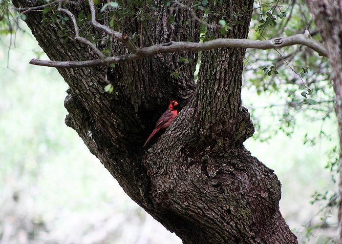 Cardinal Greeting Card featuring the photograph Seeking Shelter by Monica Wheelus