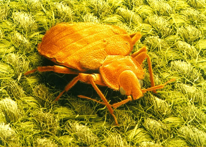Cimex Lectularius Greeting Card featuring the photograph Sem Of A Bed Bug by Power And Syred