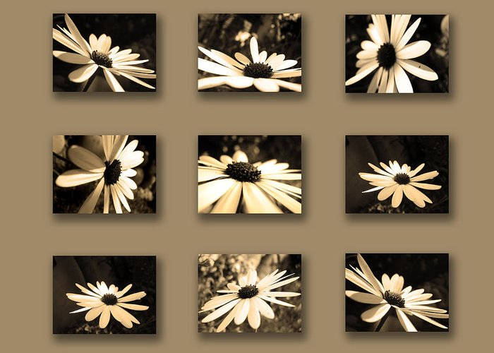 Collage Greeting Card featuring the photograph Sepia Daisy Flower Series by Sumit Mehndiratta