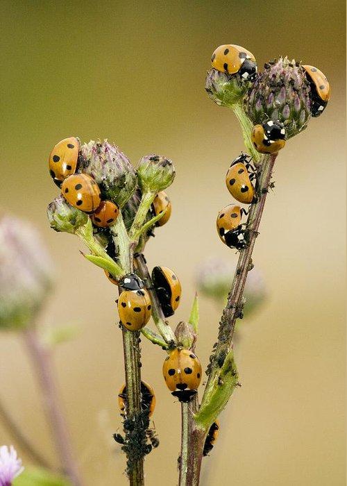 Seven-spot Ladybird Greeting Card featuring the photograph Seven-spot Ladybirds Eating Aphids by Bob Gibbons