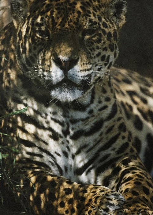 jaguars Greeting Card featuring the photograph Shadows Flicker Over A Jaguar Panthera by Hope Ryden