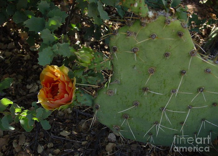Cactus Greeting Card featuring the photograph Shady Lady by Daniel and Rose Barba