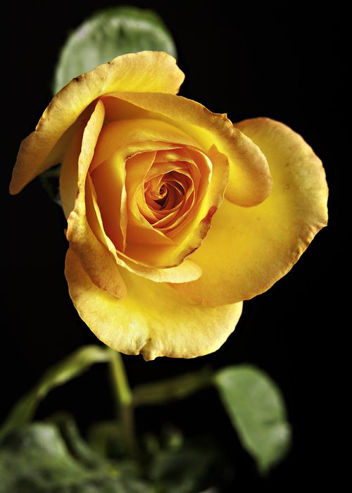 Rose Greeting Card featuring the photograph Sharp Yellow Rose On Black by M K Miller