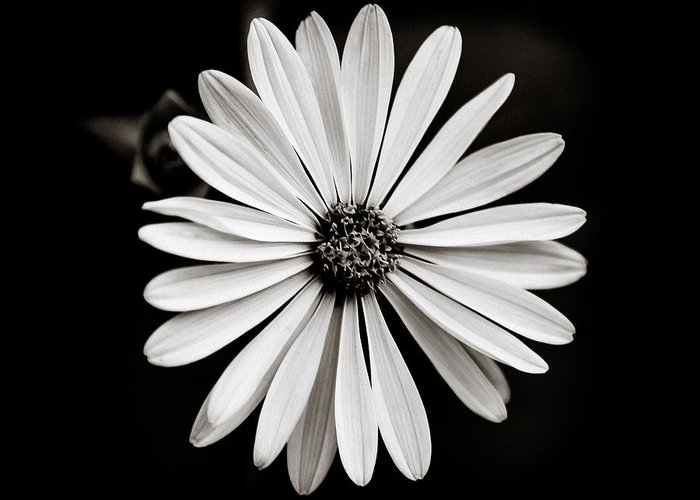 Daisy Greeting Card featuring the photograph She Loves Me Not by Anthony Rego
