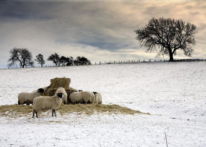 Fields Greeting Card featuring the photograph Sheep In Field Of Snow, Northumberland by John Short