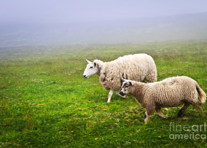 Sheep Greeting Card featuring the photograph Sheep In Misty Meadow by Elena Elisseeva