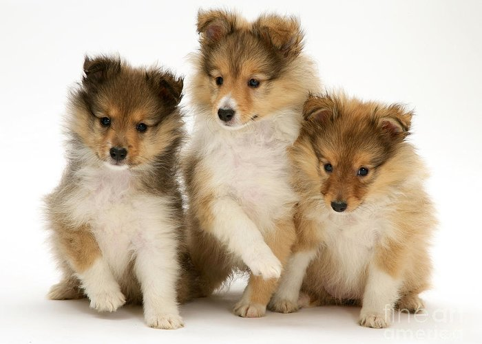 Animal Greeting Card featuring the photograph Sheltie Puppies by Jane Burton