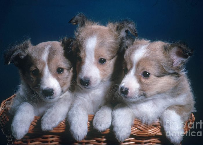 Nature Greeting Card featuring the photograph Sheltie Puppies by Photo Researchers, Inc.